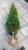 Туя западная Смарагд 140-150см (Thuja occidentalis Smaragd )