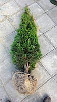 Туя западная Смарагд 120-130см (Thuja occidentalis Smaragd ), фото 1