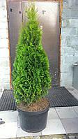 Туя западная Смарагд 100-110см (Thuja occidentalis Smaragd )