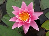 Нимфея Розовая Сенсация
