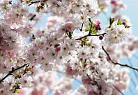 Фотообои флизелиновые на стену 368х254 см 8 листов: Цветение сакуры. Komar 8NW-507