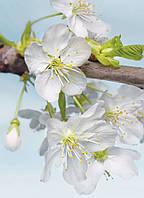 Фотообои флизелиновые на стену 184х248 см 2 листа: Цветение вишни. Komar XXL2-033