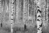 Фотообои флизелиновые на стену 368х248 см 4 листа: Березовая роща. Komar XXL4-023