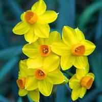 Луковичное растение Нарцисс мультицветковый Grand Soleir d'Or