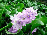 Эйхорния (водяной гиацинт) - (Eichornia crassipes)