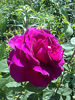 Роза английская Черчель осень