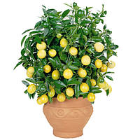 Лимон бонсай, лимонное дерево