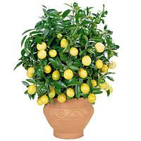 Лимон бонсай, лимонное дерево, фото 1