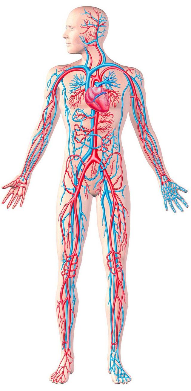 Здоровье капилляров - здоровье организма!