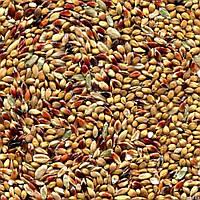 Семена суданки от 1 кг.