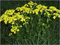 Горчица желтая (Фасовка: 1 кг)