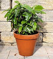 Кофейное дерево Арабика (Фасовка: 1 г; Цвет: белый)