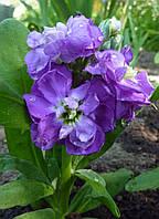 Матиола Эксельсиор (Фасовка: 0,1 г; Цвет: фиолетовый)