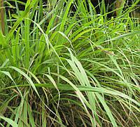 Семена пряных и зеленых культур Лимонная трава (Фасовка: 0,1 г)