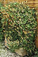 Квамоклит Испанка (Фасовка: 0,2 г; Цвет: смесь)