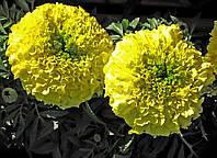 Бархатцы Эквинокс (Фасовка: 0,5 г; Цвет: лимонный)