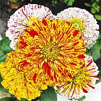 Семена Цинния (Майоры) Пеперминт стик (Фасовка: 0,5 г; Цвет: смесь), фото 1
