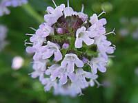 Семена Тимьян (чебрец) (Фасовка: 0,3 г)