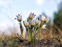 Сон-трава Принц Генрих (Фасовка: 0,1 г; Цвет: смесь), фото 1