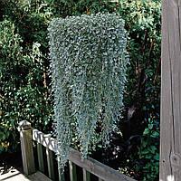 Дихондра Серебряный водопад (Фасовка: 5 шт; Цвет: зелено-серебряный)