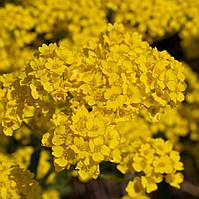 Алиссум  Горное золото (Фасовка: 0,2 г; Цвет: желтый), фото 1
