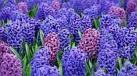 Гиацинт Blue Giaht (Фасовка: 2 шт)