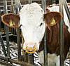 Профілактика самовисмоктування та висмоктування молока в інших тварин