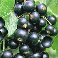 Продам ягоды черную смородину