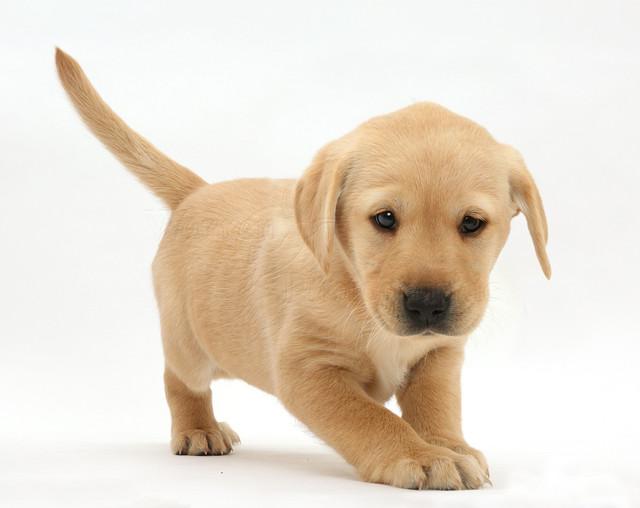 Корм для щенков крупных пород Hills Puppy Large