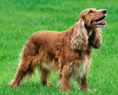 Корм для пожилых собак средних пород с курицей Нills Mature Adult 7+ Medium Active Longevity