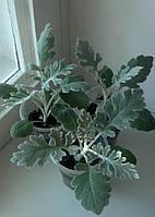 Цинерария приморская, фото 1