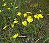 Ястребинка трава(нечуйвiтер) 50 гр.