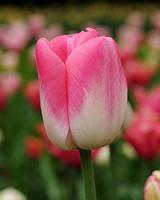 Тюльпан простой поздний Dreamland