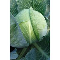 Атила f1 / atila f1 – капуста белокочанная, moravoseed 2 500 семян