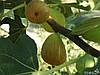 Инжир сорт  Brunswick (Брунсвик)