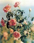 Выращивании масличной розы в Долине Роз, Болгария.