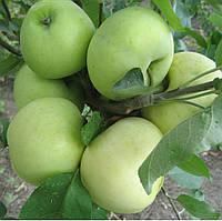 "Саженец яблони ""Белый налив"""