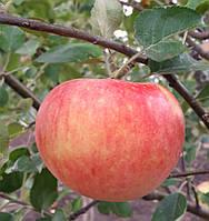 """Саженец яблони """"Деличия"""""""