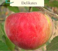"""Саженец яблони """"Деликатес"""""""