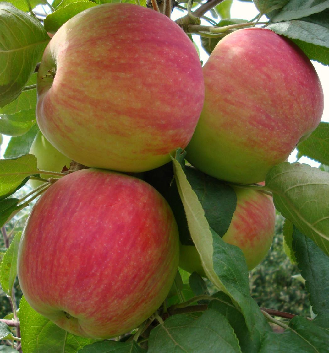 """Саджанець яблуні """"Мелба"""""""