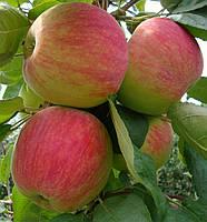 "Саженец яблони ""Мелба"""