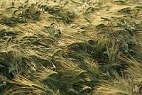 Семена озимого ячменя Винмальт с роялти