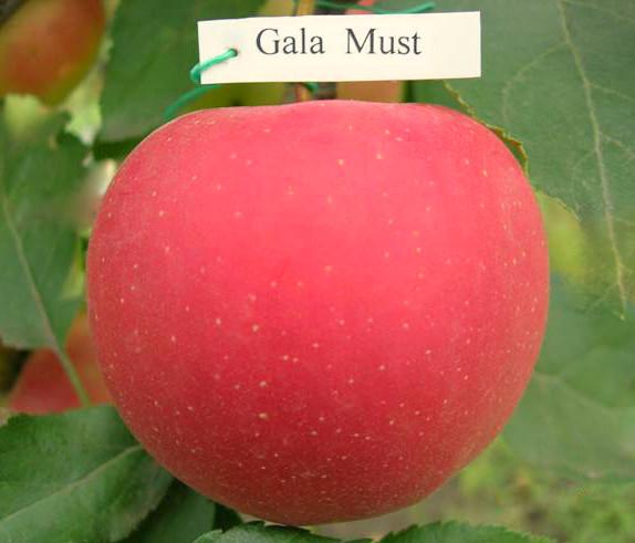 "Саженец яблони ""Гала Маст"""