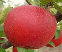 "Саженец яблони ""Макентош"""