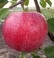 """Саженец яблони """"Слава Победителям"""""""