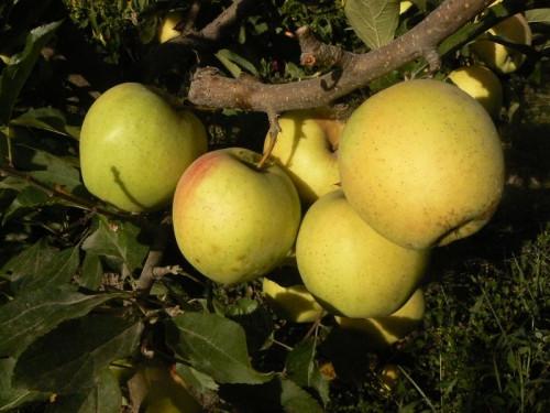 "Саженец яблони ""Голд Раш"""