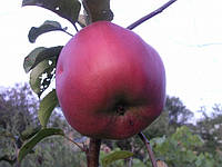 """Саженец яблони """"Джумба Помм"""""""