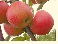 "Саженец яблони ""Джонаголд"""