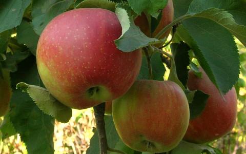 "Саджанець яблуні ""Катерина"""