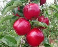 "Саженец яблони ""Моди"""